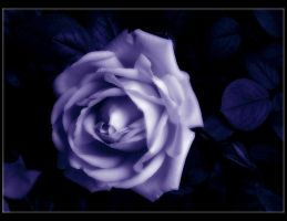 The Enchanted Rose by Forestina-Fotos