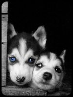 Siberian husky pupies 315 by Pawkeye