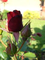 Dark Red Rose by Lengels-Stock