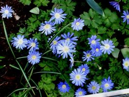 Blue spring flowers by snoogaloo