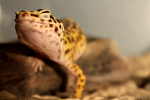 Gecko by Aquophis