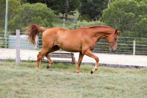 Dn wb trot side view chestnut by Chunga-Stock