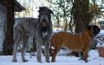 Wolfhound and Bullmastiff by Big-Diddy