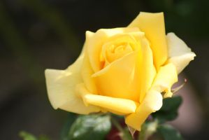 Flowers - Rose by tsb-stock