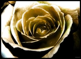 Mortuus Rose by Mike-Williams