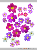 PACK Primula mix - STOCK by resMENSA