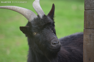 Goat by AgnethaArt