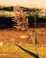 Lone Grain by ONGoingDrifter13