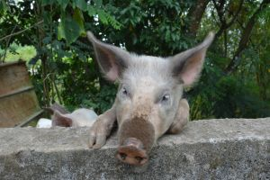 Portrait of pig of Martinique by A1Z2E3R