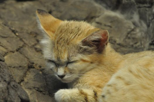 Sand Cat by Guard-of-the-Citadel