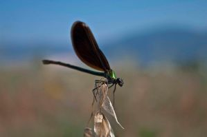 Dragonfly. by fanbes