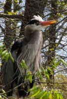 Another Great blue heron by Amarantheans