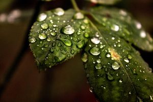 Leaf with Water Droplets by tamigabriely
