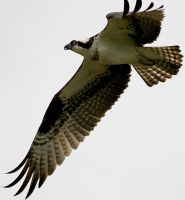 Osprey by in2photography