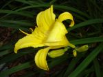 Yellow Daylily by charmedy