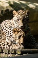 2362 - Persian Leopards by Jay-Co