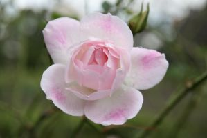 Pink Flower by infl3xion