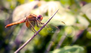 Dragonfly by SepidehDavoodi