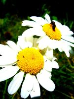 Daisy and Bee by JustDev