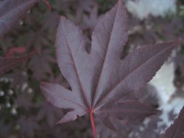 The red japanese maple leaf by angelbeauty999