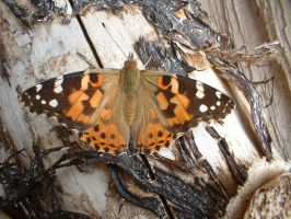 Red Admiral on Wood by Rykan
