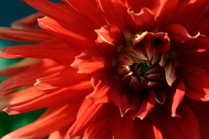 Red flower by AlexiTQ
