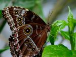 Chocolate Eyed Butterfly by JessicaDobbs