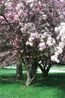 Blossom tree-2 by Rubyfire14-Stock