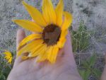 Sunflower by iCyprienne