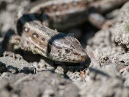Sand lizard by 75ronin
