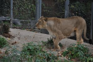 Lion Female Stock by LuDa-Stock