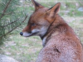Red Fox by gunpowder-treason-pl