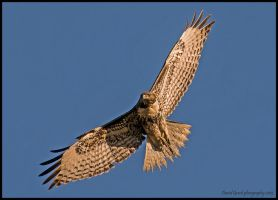 Tattered Tail by AirshowDave