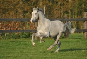 Lipizzaner stallion 10 by AfraidMe