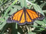 Monarch Butterfly by RJ8