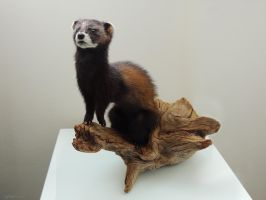 Taxidermy Ferret by Lightofatunnel
