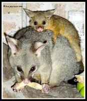 Possum And Bub by BreeSpawn