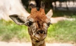 Young Giraffe by pingallery