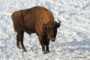 Wisent / European Bison 2 by bluesgrass