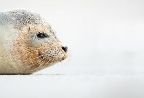 Portrait of a seal cub by AlesGola