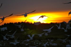 geese in the sunset by jsimon526