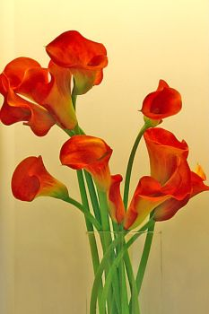 The Red Callas by cemplux