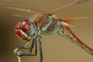 red dragonfly 2 by buleria