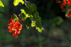 Red Currant brush by sztewe
