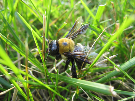 Eastern Carpenter Bee by bluebell12