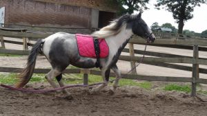 Dirk - Lunging Gray Tobiano Gelding by Horselover60-Stock