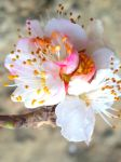Flower Apricot by Sam-432