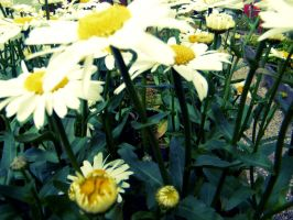 Close up of daisies (Alittle blurred) by PhotographicJaydiee