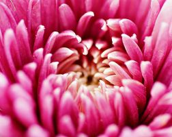 close-up of pink flower II by a6-k