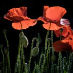 morning poppies 2 by marcopolo17